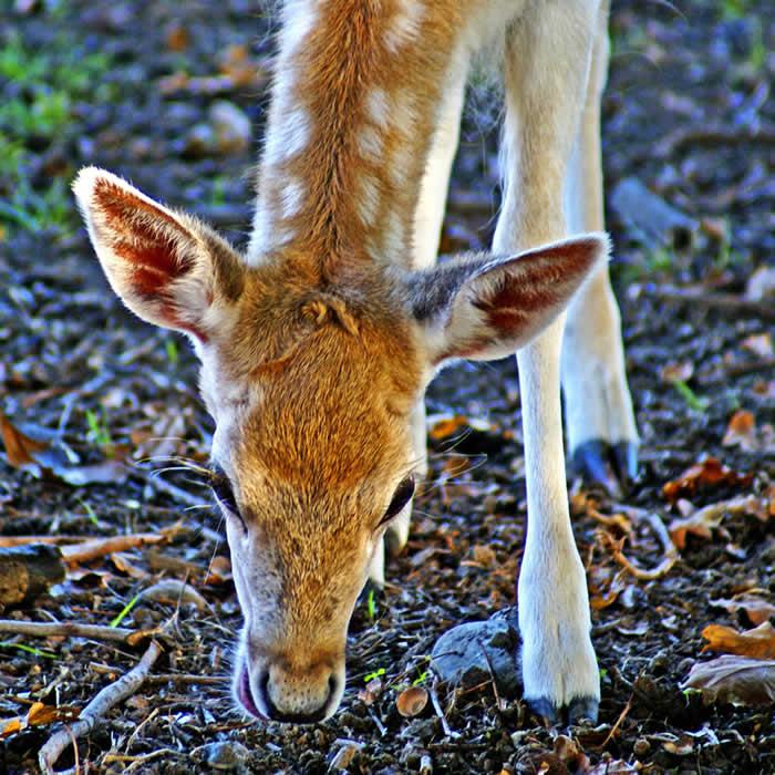 Information Foraging Deer